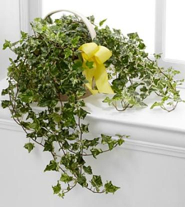 The Solace™ Ivy Planter